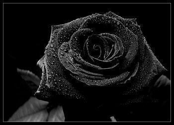 rosenoire.jpg